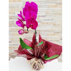 Orquídea Phalaenopsis Roxa/lilás/pink