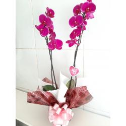 Orquídea Phalaenopsis lilás/pink